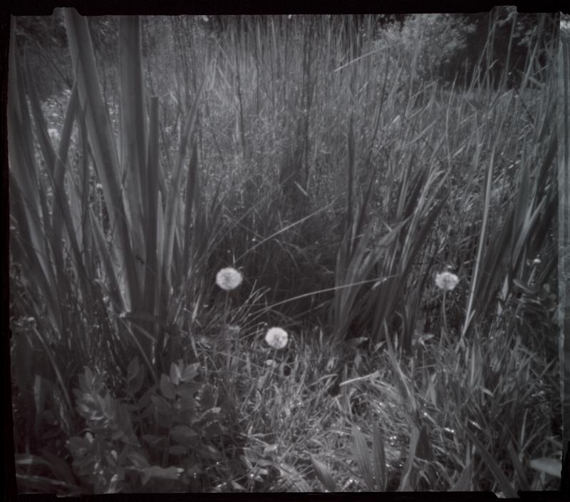 Dandelions site 4